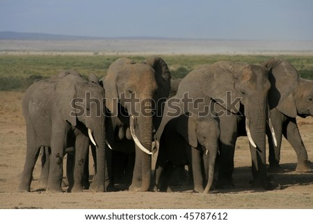 Group of angry wild elephants - stock photo