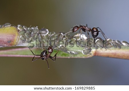 group of aphid on plant shoot with the guarding of black ant - stock photo