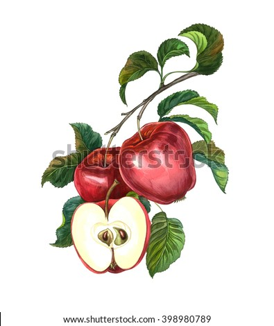 Group of apples with leaves on a branch. Watercolour drawing. - stock photo