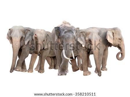 group of asia elephant isolated on white background - stock photo