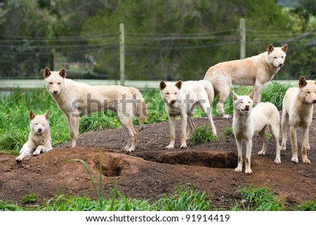 Group of Australian Dingos. Australian Dingo (Canis lupus dingo) is a wild dog unique to the continent of Australia, mainly found in the outback. - stock photo