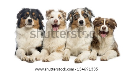 Group of Australian Shepherd lying and looking, isolated on white