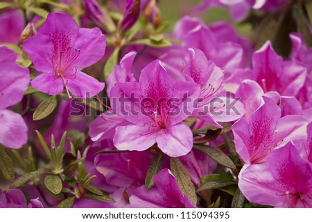 Group of azalea flowers blooming in the garden - stock photo