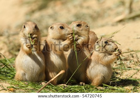 Group of baby prairie dogs eating - stock photo