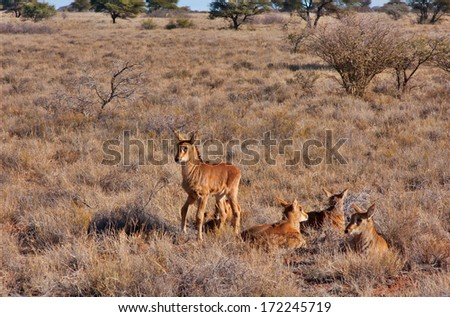 group of baby sable antelope in South Africa. The parents hide them in the grass while feeding - stock photo