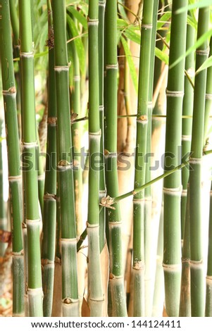 Group of bamboo trees in forest