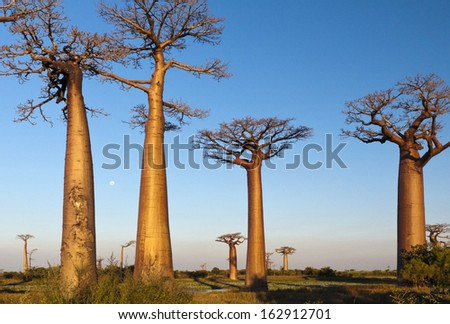 Group of baobab trees, Madagascar - stock photo