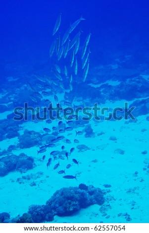group of barracuda - stock photo