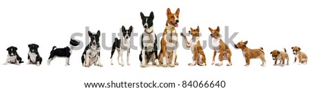 Group of basenji dog and puppies - stock photo