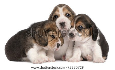 Group of Beagle puppies, 4 weeks old, in front of white background - stock photo