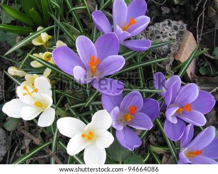 Group of beautiful blooming spring crocus on the nature background - stock photo