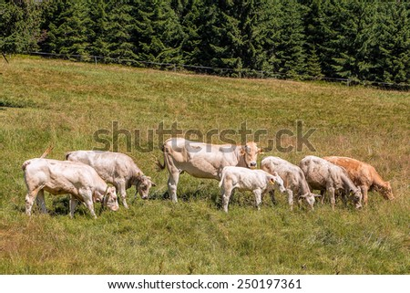 Group of beautiful cows grazing tranquilly on Alpine meadows.  - stock photo