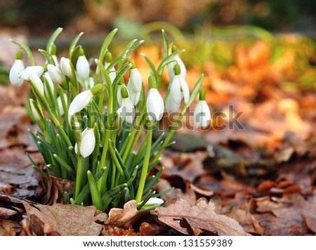 Group of beautiful fresh snowdrops in early spring - stock photo