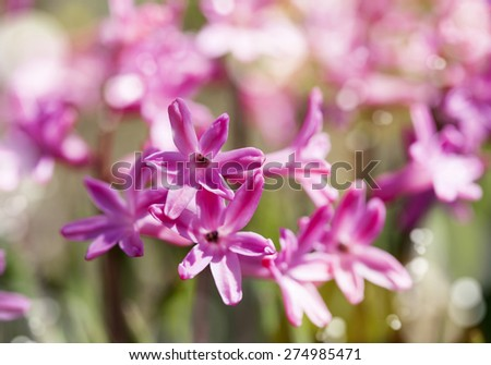 Group of beautiful hyacinths in garden. Shallow depth of field - stock photo