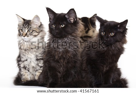 Group of beautiful Maine Coon kittens - stock photo