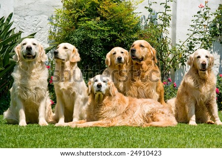 Group of beautiful pretty adult Golden Retrievers sitting down on green lawn - stock photo
