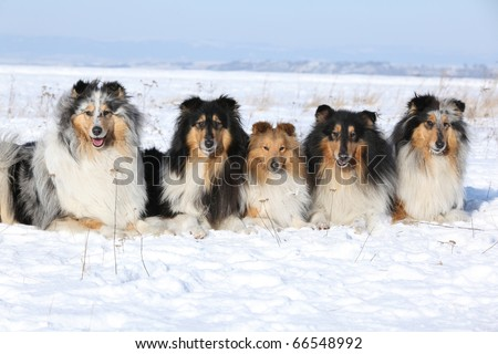 Group of Beautiful Scotch Collie and Shetland Sheepdog in winter - stock photo