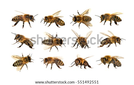 group of bee or honeybee in Latin Apis Mellifera, european or western honey bee isolated on the white background, golden honeybee