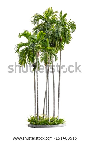 group of betel palm trees isolated on white background - stock photo