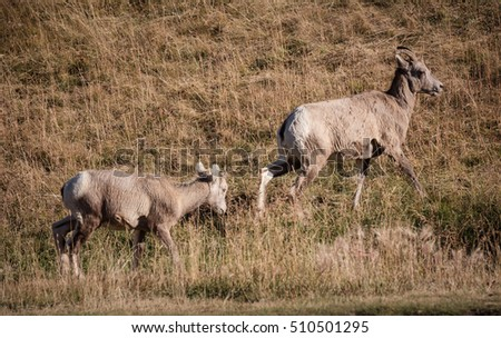 Group of big horn sheep 4