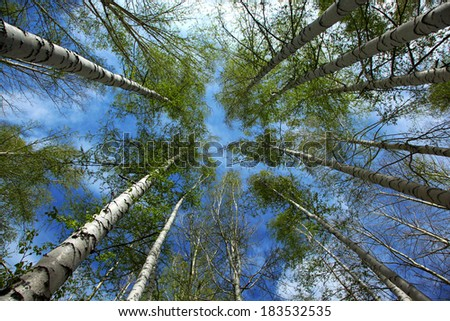 group of birches in spring - stock photo
