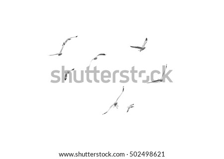 Group of birds flying on clear sky (Black and White) Isolated on white background