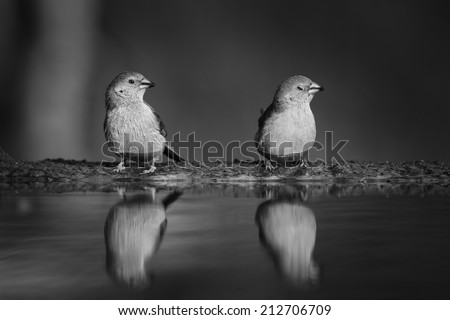 Group of birds sitting at edge of pond with clear reflections in water, black and white