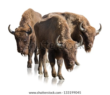 Group Of Bisons Isolated On White Background - stock photo