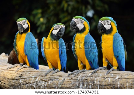 Group of Blue and Gold macaw parrot birds sitting on the log
