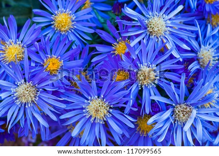 Group of Blue Flowers with Yellow Centers - stock photo