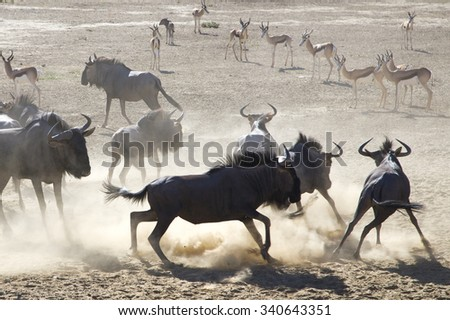 Group of Blue Wilder beasts and springboks standing at a water point in Kgalagadi National Park. South Africa - stock photo