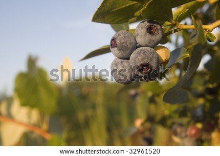 Group of blueberries on tree - stock photo