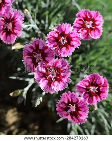 Group of boldly striped pink carnation flowers - stock photo