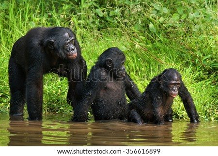 Group of Bonobos. Democratic Republic of Congo. Lola Ya BONOBO National Park. An excellent illustration.