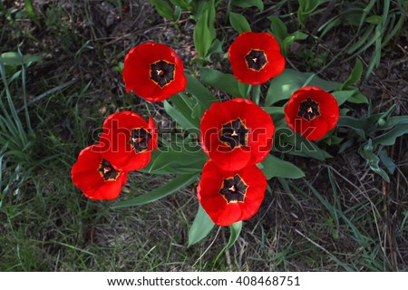Group of bright red tulips with black midway bloom in spring on a bed on top of the photo. - stock photo