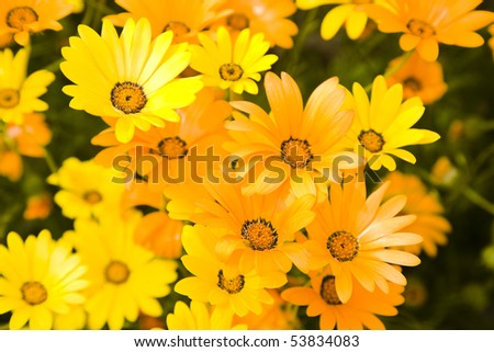 Group of bright yellow and orange daisies - stock photo