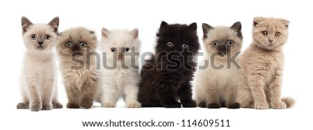 Group of British shorthair and British longhair kittens sitting against white background - stock photo