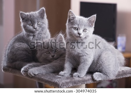 Group of British Shorthair cats relaxing