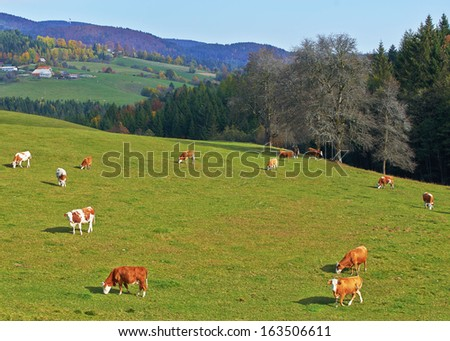 Group of brown and white cows in a pasture - stock photo