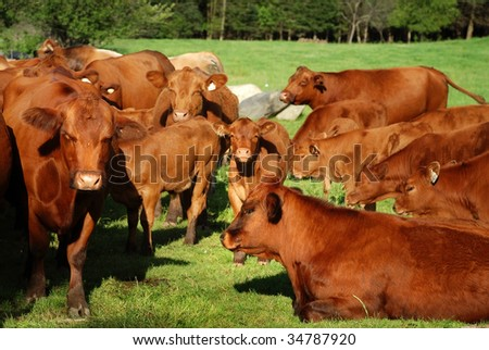group of brown cow in the green meadow - stock photo