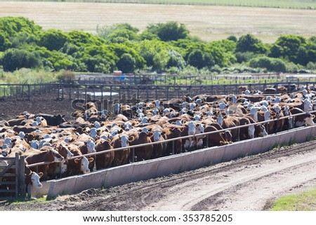 Group of brown cows looking at the camera in a farm land in Uruguay. This is the result of intensive livestock business in South America 2014. - stock photo