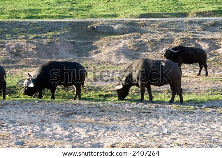 Group of buffalo - stock photo