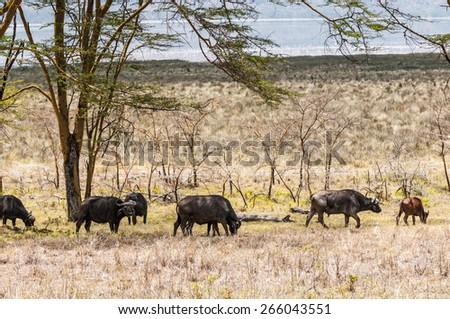 Group of buffalos in Kenya, Africa - stock photo