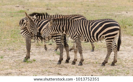"group of Burchell's Zebra (scientific name: Equus burchelli,  ""Punda milia"" in Swaheli) ] in the Tarangire National Park"