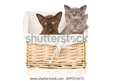 Group of Burmese kittens in wicker basket on a white background - stock photo