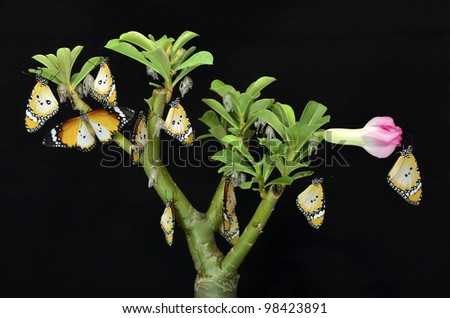 Group of butterflies on plant after emerging from an chrysalis - stock photo