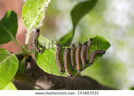 group of caterpillars on a leaf of apple tree, closeup - stock photo