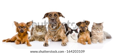 Group of cats and dogs lying in front. looking at camera. isolated on white background - stock photo