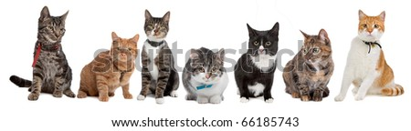 Group of cats,European Short hair, in front of a white background - stock photo
