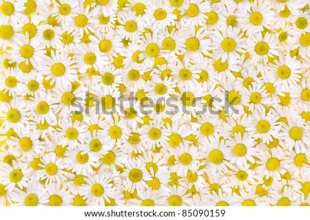 Group of Chamomile flower heads ? background - stock photo